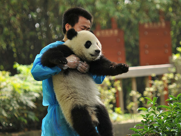 https://fr.topchinatravel.com/pic/ville/chengdu/attractions/Chengdu-Research-Base-of-Giant-Panda-Breeding-16.jpg