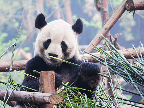 https://fr.topchinatravel.com/pic/ville/chengdu/attractions/Chengdu-Research-Base-of-Giant-Panda-Breeding-19.jpg