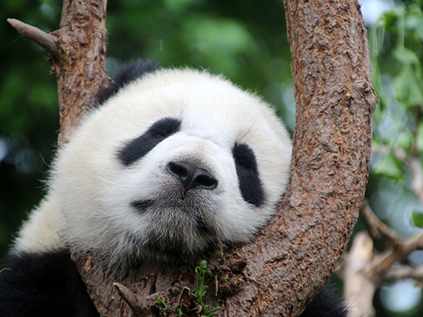 https://fr.topchinatravel.com/pic/ville/chengdu/attractions/Chengdu-Research-Base-of-Giant-Panda-Breeding-20.jpg