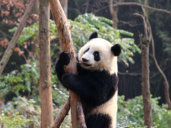 Circuit de 12 jours en Chine avec les pandas