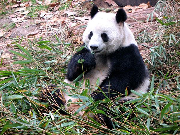 Le panda géant chinois