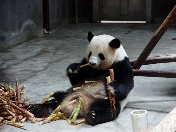 géant panda à chengdu chine
