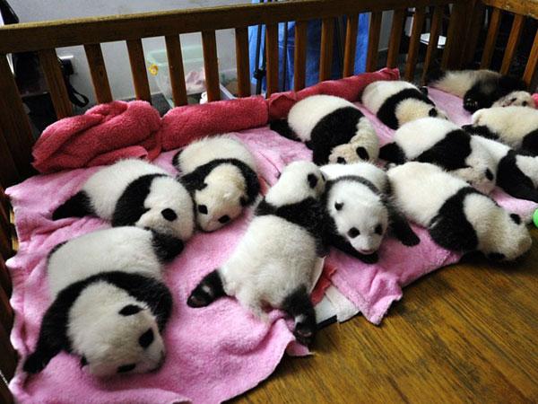 https://fr.topchinatravel.com/pic/ville/chengdu/attractions/chengdu-reserach-base-of-giant-panda-breeding-19.jpg
