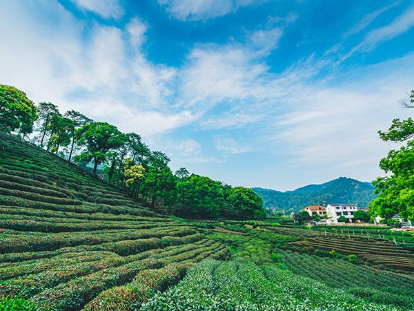 https://fr.topchinatravel.com/pic/ville/hangzhou/attractions/meijiawu-tea-village-4.jpg